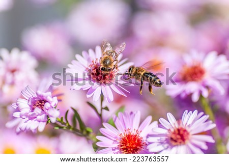 Bee on purple flower collect honey, blurred background - stock photo