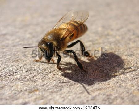 bee on rock - stock photo