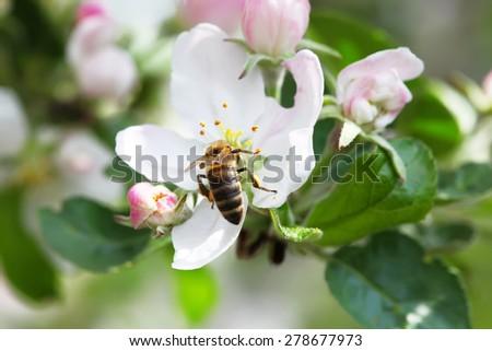 Bee on the apple's flower - stock photo