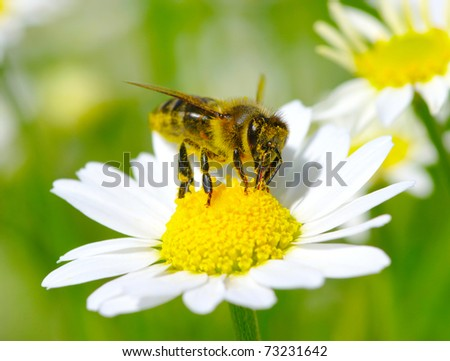 Bee on the chamomile flower - stock photo