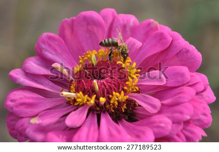 Bee on the pink flower of zinnia - stock photo