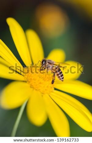 bee on the yellow daisy - stock photo
