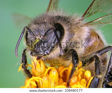 Bee on the yellow flower. Close up. - stock photo