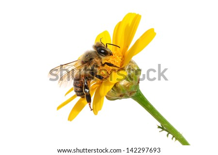 Bee on the yellow flower. Close up. Isolated on white - stock photo
