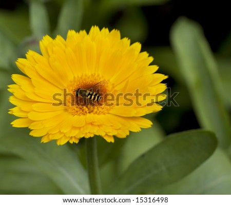 bee on the yellow flower in green encirclement - stock photo