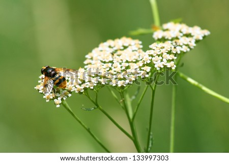 Bee on white flowers - stock photo