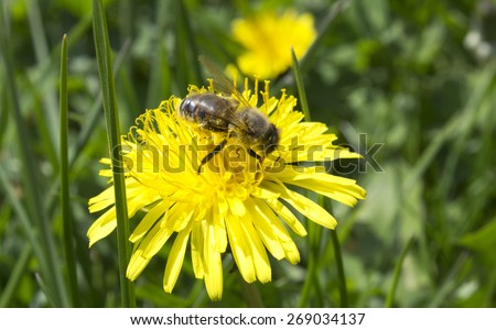 bee pollinated of yellow flower - stock photo