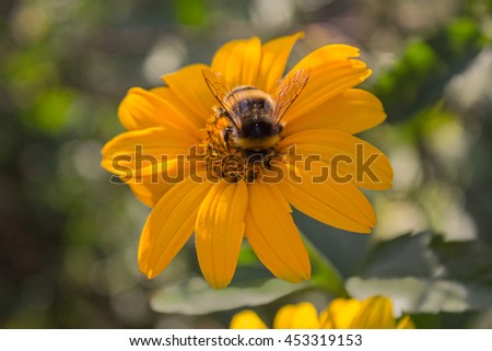 Bee pollinates a yellow flower close-up. Nature - stock photo