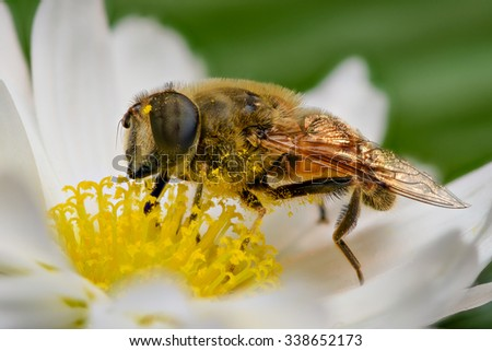 Bee pollinating, extreme close up - stock photo