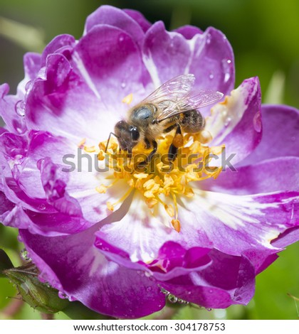 bee pollinating wild pink rose in bloom - stock photo