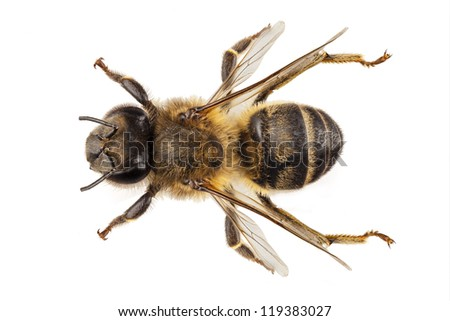 Bee species apis mellifera common name Western honey bee or European honey bee isolated on white background - stock photo