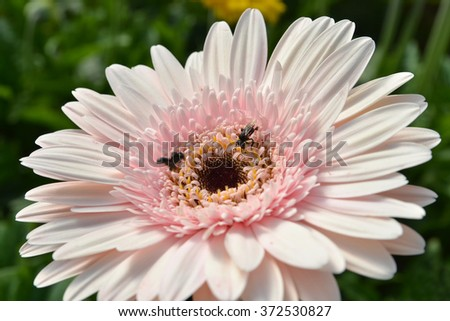 bee sucking honey on a pink flower - stock photo