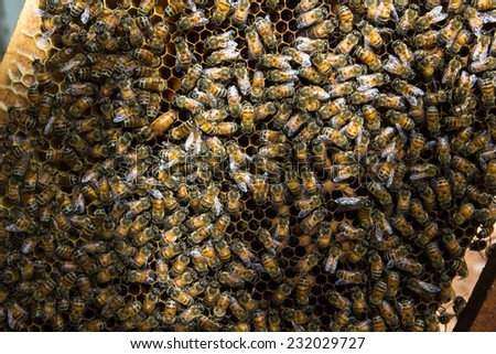 bee ; working bee on honeycomb in Thailand - stock photo