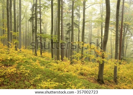 Beech forest in misty weather at the beginning of autumn. - stock photo