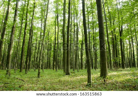Beech forest in summer seen from below with daylight on the forest floor - stock photo