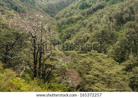 beech forest near Hanmer Springs, New Zealand - stock photo