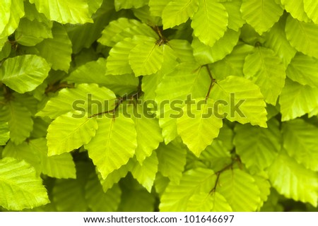 beech leaves in springtime - stock photo
