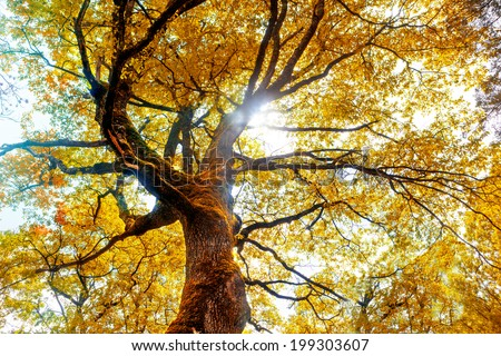 Beech tree in autumn. Nature background - stock photo