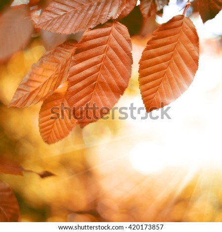 Beech tree with selective focus of the foreground and bright sun with smooth light. Nature background in autumn with copy space and red leaves. - stock photo