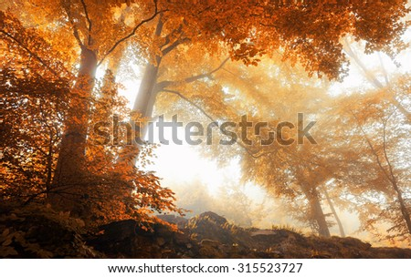 Beech trees in a scenic misty forest in autumn, with soft light and warm vibrant colors - stock photo