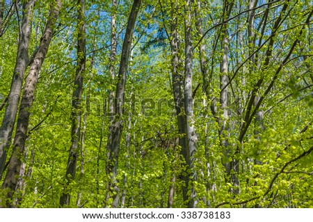 Beech trees in the spring. - stock photo