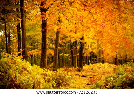 Beech trees swaying in the breeze of autumn - stock photo