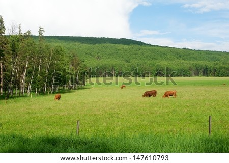 Beef cattle grazing a pasture in summer - stock photo