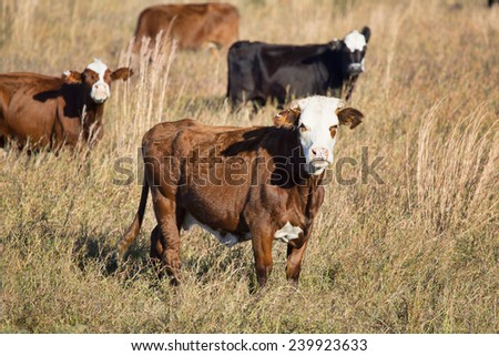 Beef cattle in a Florida Winter pasture look at the photographer as they chew their cud.  - stock photo