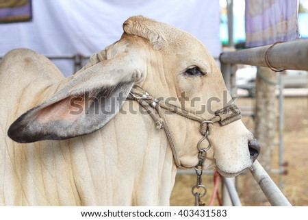 Beef cattle judging contest, Close up American Brahman white color - stock photo