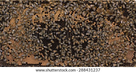 Beehive honey bee  frame of mature brood with characteristic open 'football' center, ring of capped brood and  pollen on perimeter. - stock photo