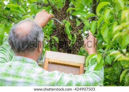 Beekeeper catching flown bees - stock photo
