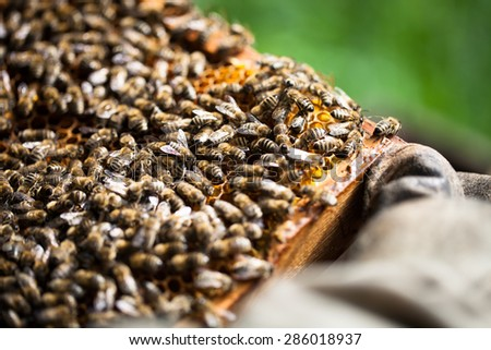 Beekeeper's hand holding honeycomb full of bees and honey - stock photo