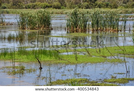 Beelier wetlands conservation area with mudflats, reeds and wading heron in Bibra Lake, Western Australia/Wetland Heron/Bibra Lake Wildlife, Western Australia - stock photo