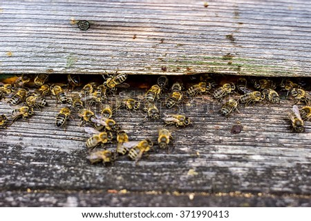 Bees are going in and out of their beehive - stock photo