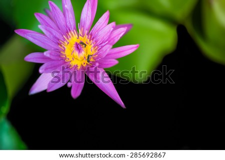 Bees are swarming beautiful pink lotus flower and yellow lily pollen with blur background - stock photo