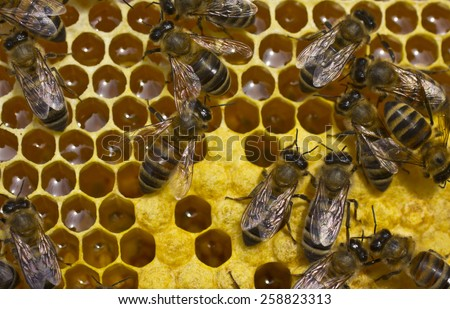Bees convert nectar into honey and cover it in honeycombs and take care of the larvae - stock photo
