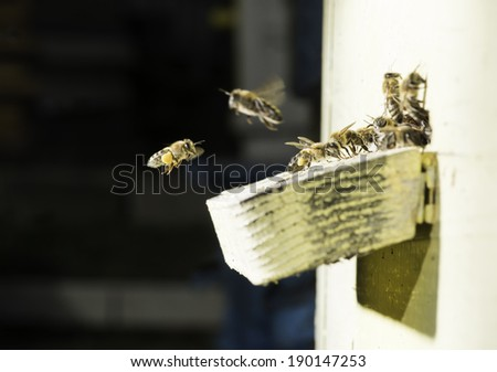 Bees entering the hive. White beehive - stock photo