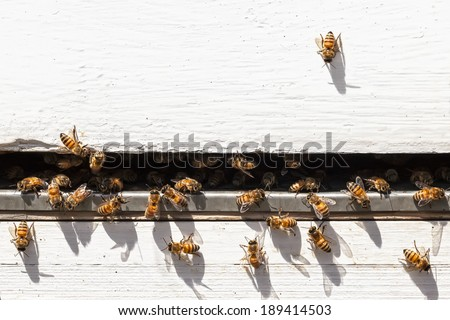 Bees flying and taking off from a beehive.Close up - stock photo