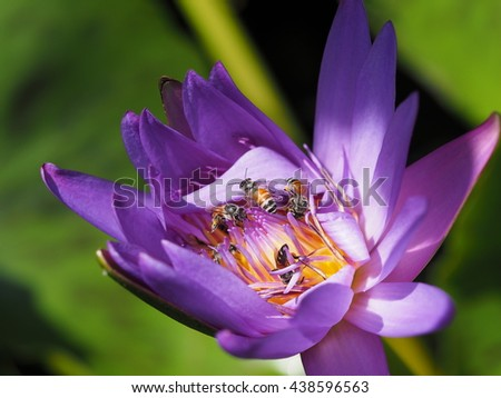 bees foraging on blooming purple lotus. - stock photo