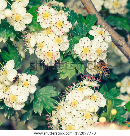 Bees gather honey at cherry blossoms - stock photo