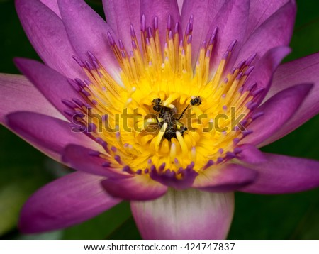 bees in lotus  environment bees in lotus purple - stock photo