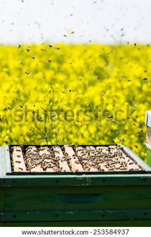 bees on honeycomb in a beehive. Honeybees are a genus of the family of the Real bees - stock photo