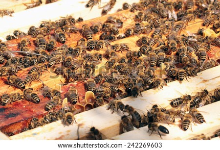 Bees on honeycomb in beehive - stock photo