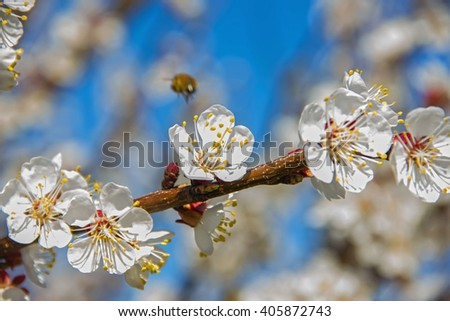 Bees pollinate young tree flowers in the garden, bee collects pollen with fruit trees, beautiful nature spring flowering trees pollination, pollen gathering, bee-keeping and honey - stock photo