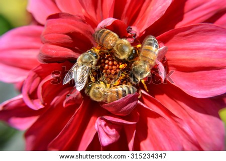 Bees Swarm Pollinate a Red Flower in Macro Closeup - stock photo