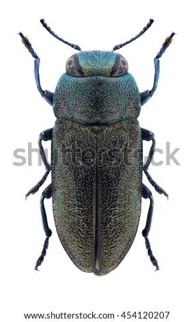 Beetle Anthaxia meregallii on a white background - stock photo