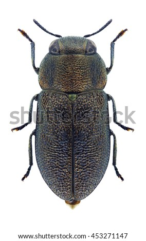 Beetle Anthaxia obesa on a white background - stock photo
