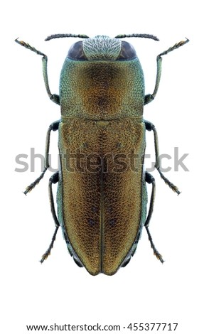 Beetle Anthaxia umbellatarum on a white background - stock photo