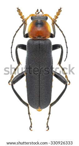Beetle Cantharis fusca on a white background - stock photo