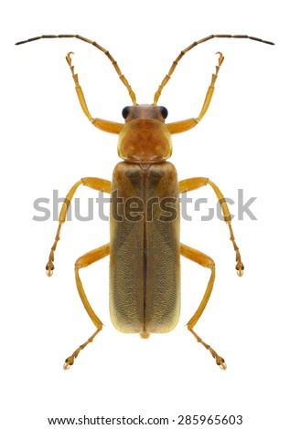 Beetle Cantharis rufa on a white background - stock photo